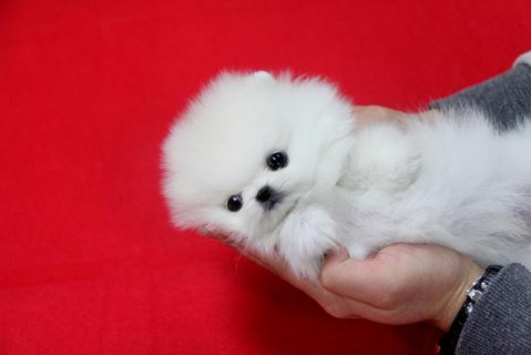 Platinum White Pomeranian Puppies For Sale