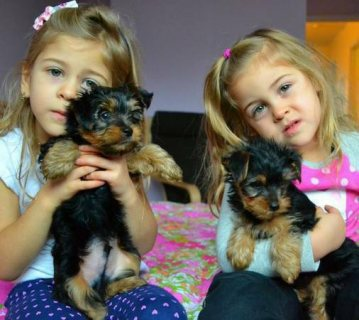 Extraordinary  Yorkie Puppies available