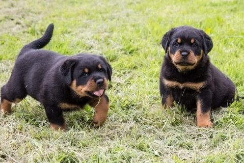 *Top Quality Female and Male Rottweiler puppies