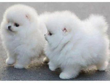 الأصيلة الجراء كلب صغير طويل الشعر المتاحة