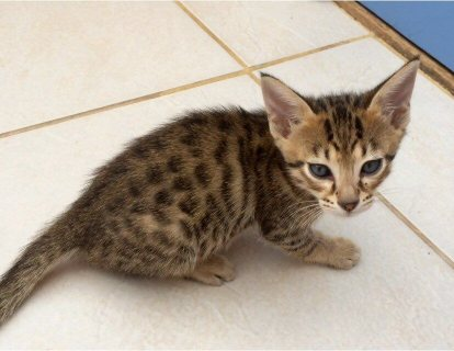 Beautiful F1 Savannah Kittens for sale !!!