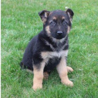 Gorgeous German Shepherd Pups Available