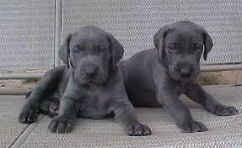 Cute and Adorable Weimaraner Puppies for sale
