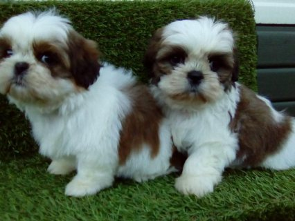 Excellent Shih Tzu Puppies for sale