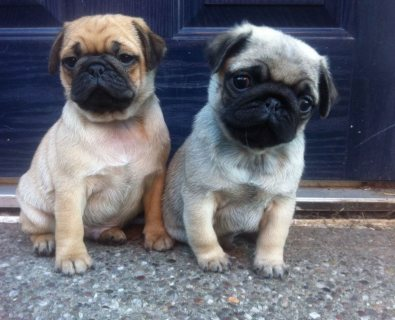 Top quality Pug  puppies