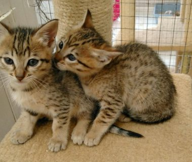 Adorable Savannah - Serval - Ocelot - Caracal Kittens for sale