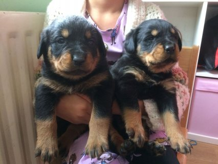 صور Male and female Rottweiler puppies for pet lovers. 2