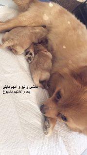 كلاب بوميرينيان للبيع في الرياض جرو للبيع العمر 3 أشهر