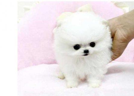 اثنين رهيبة تي كوب جرو كلب صغير صغير