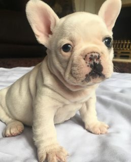 Healthy French Bulldog Puppies Ready To Go