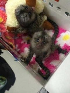 2 Finger Marmoset Monkeys for sale