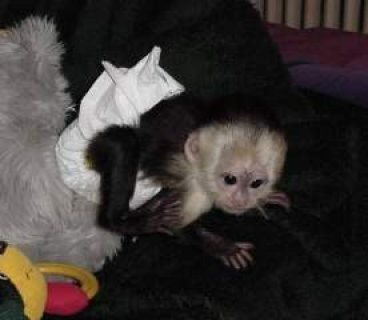 Female Capuchin monkeys available