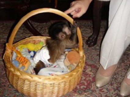 Adorable and Sweet Capuchin Monkeys