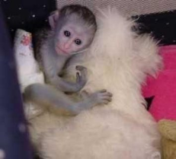 كابوتشين القرود المتاحة