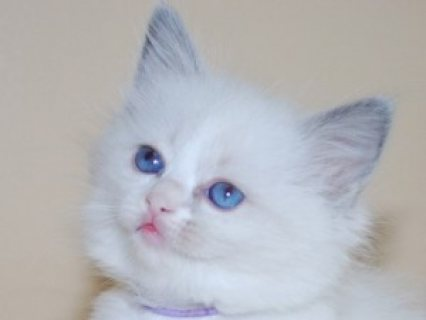 Male and Female Ragdoll Kittens