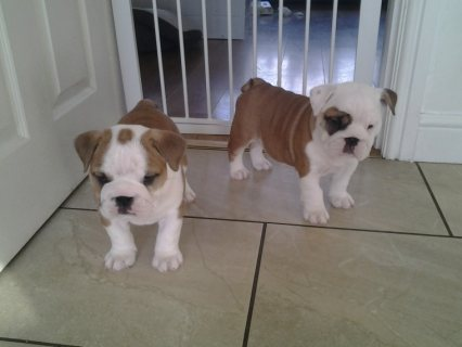 registered English Bulldog puppies