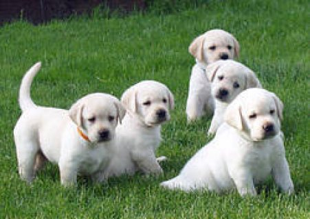 Cute Akc Registered Labrador Puppies Ready for sale