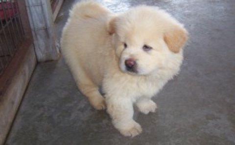 ewwd Chow Chow Puppies