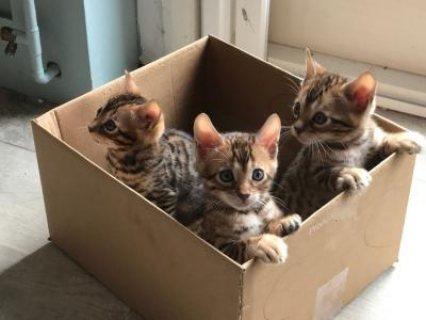 socialised bengal kittens