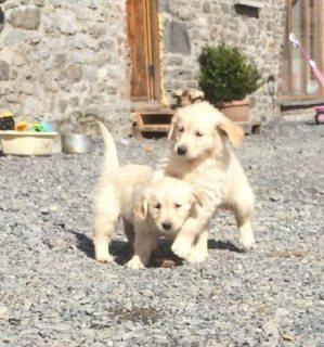Golden Retriver Pups
