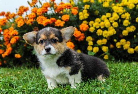 Beautiful Welsh Corgi Puppies For Sale