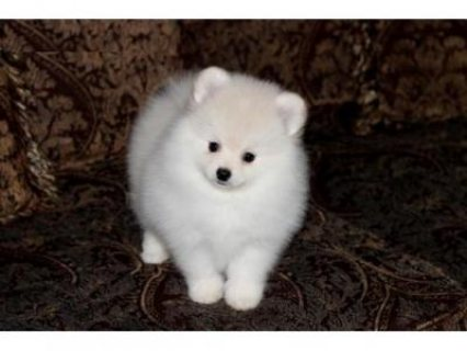 Two Awesome Pomeranian Puppies