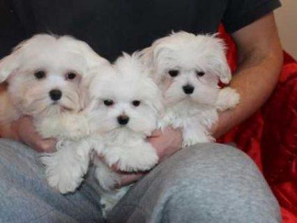 Beautiful Maltese Puppies 2 Boys Left