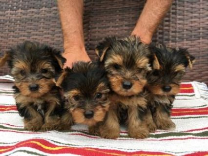 Cute and Adorable Yorkie Puppies for Adoption