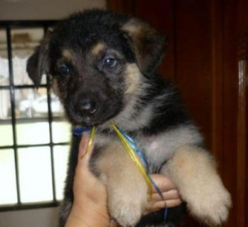 German Shepherd Dog Puppies for adoption