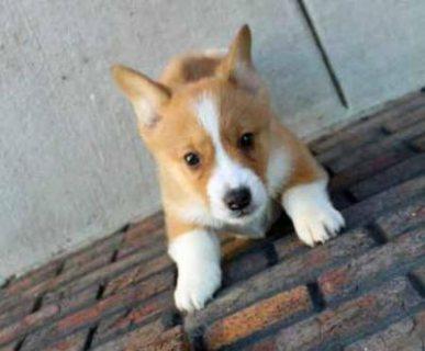 Welsh Corgi (pembroke) Puppies For you