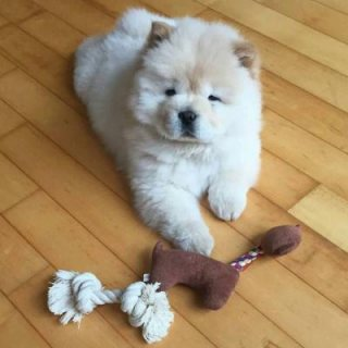 Quality Chow Chow Puppies
