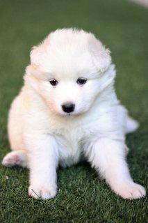 Samoyed puppy جرو سامويد