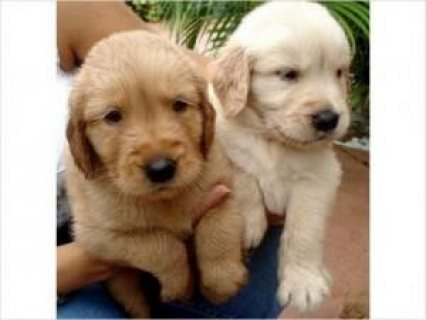 Awesome Golden Retriever Puppies Available For sale