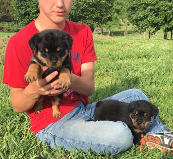 Home raised Rottweiler pups