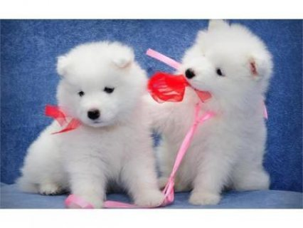 Gorgeous Samoyed Puppies for Adoption -