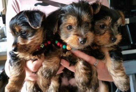 Yorkshire Terrier Puppies For Adoption