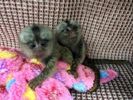 Adorable Marmoset Monkeys Available For Sale