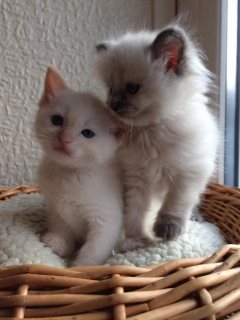 Beautiful Males and Females Ragdoll Kittens For Sale