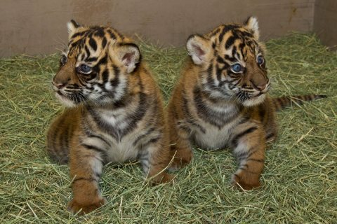 Calm and playful Tiger cubs for sale