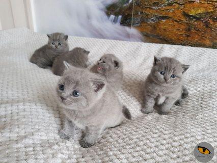 Lovely British Shorthaired Kittens For Sale