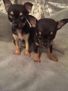 Tiny Chihuahua Puppys