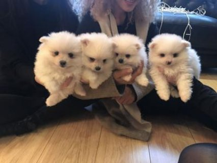 White Pomeranian Puppies