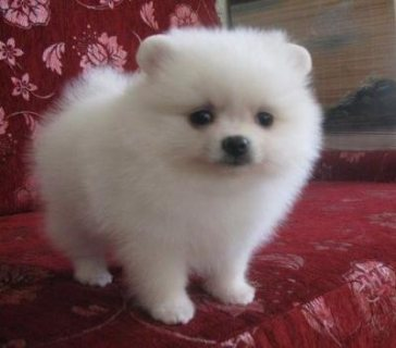 Beautiful pomeranian puppy for adoption