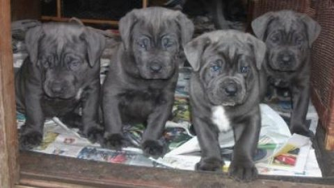 Beautiful Cane Corso's For Sale