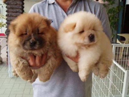 Blue & Cream Chow Chow Puppies