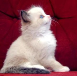 Purebred 10 Weeks Old Ragdolls Kittens
