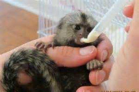 Marmoset Monkeys