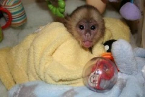 Small Capuchin Monkey