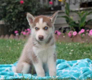 Good Temperament Siberian Husky Puppies For Sale
