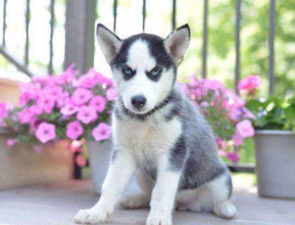 ,Beautiful Siberian Husky Puppies For Sale